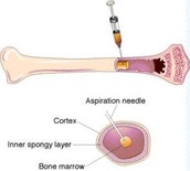 Stem cells in the bone marrow