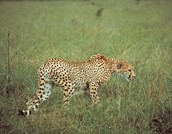 a cheetah stalking it's prey