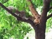 Squirrel - Tertiary