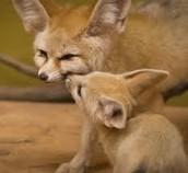 Fun Fennec Fox Facts!
