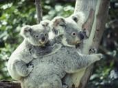 Koala and her baby
