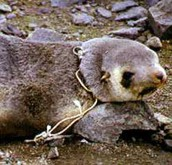 Seals are endangered, because of trash!!!