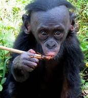 teenage bonobo