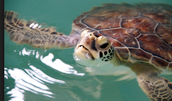 A female green sea turtle