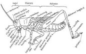 External Anatomy (Integumentary, Grasshopper)