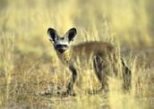 Bat-Eared Fox in its Habitat