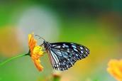 Butterflies- population