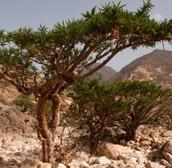 Natural Medicines of Ancient Cultures