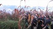 Fight in the cornfields