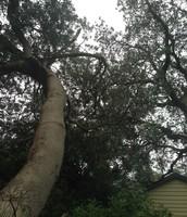 Malaluka Tree
