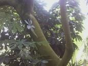 Snakewood Tree