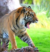 Tiger rouring