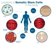 Location of Somatic Stem Cells