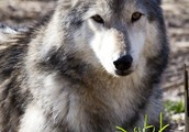 Come out and meet the wolves of Speedwell Sanctuary!!