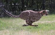 Speedy the Cheetah!
