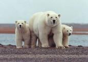 Polar bear defense mode