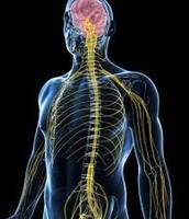 מערכת העצבים