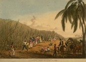 Sugar Cane Harvest, Antigua, West Indies, 1823