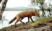 A fox prowls up a hill in search of food