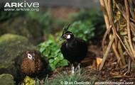 male and female palawan peacock