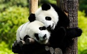 Fluffy Panda's Hugging