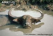 Female Water Buffalo