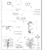 My picture of a life cycle of a bean