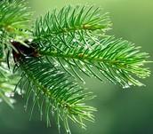 Pine sheet