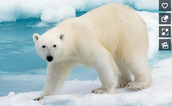'Polar Bears' Expert Topic Example