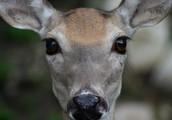 My animal: Deer