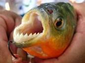 The piranha can bite through a steel hook!