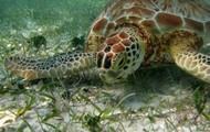 Sea turtle eating sea weed