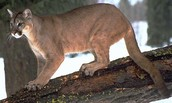 Eastern Puma