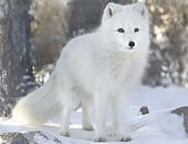 Winter Coat of Arctic Fox