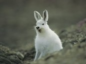 Arctic hare/polar rabbit