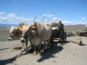 oxen and wagon on trail