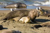 An Elephant Seal During Breeding season