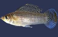Tailfin Molly