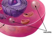 vacuole in animal cell