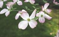 State Flower: Flowering Dogwood
