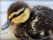 Duckling rescued from an oil spill