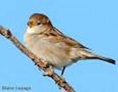 Wanted House Sparrow