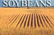 Minnesota soybeans