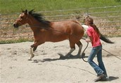 Training Horses