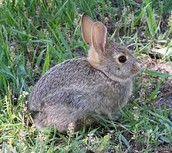 Rabbit (animalia) to a Snake(eubacteria and animalia)