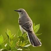 Mississippi State Bird
