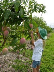 Where do mangoes come from?