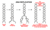 DNA Reproduction