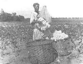 bofore the cotton gin the average slave could produce 1 pound of cotton per day