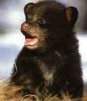 a baby sloth bear